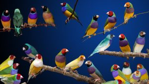 several gouldian finches