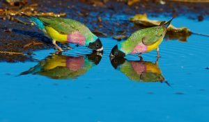 two gouldian finches